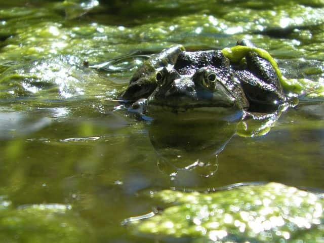 Algen im Teich.Frosch liegt auf den Algen