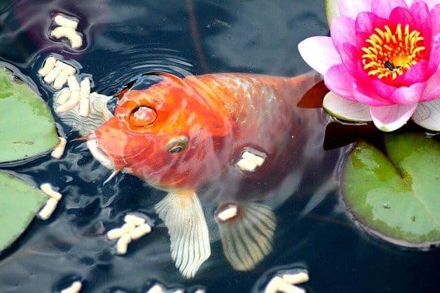 Fisch-Goldfisch im Gartenteich